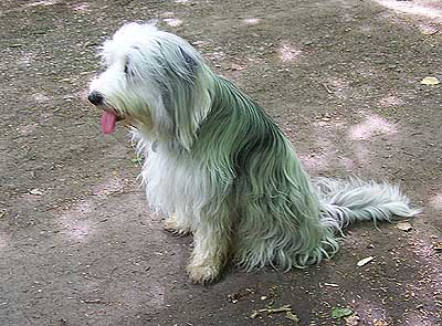 Bearded Collie Border Collie Mix
