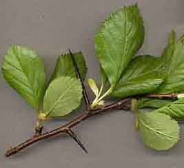 Image result for cockspur hawthorn tree leaves
