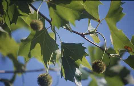 Silver Maple Tree Bark