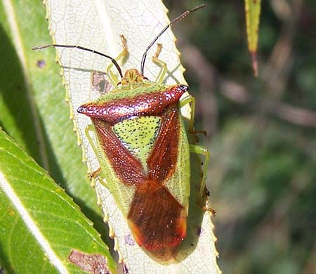 HAWTHORN SHIELD BUG Acanthosoma haemorrhoidale on Crack willow leaf. 17th