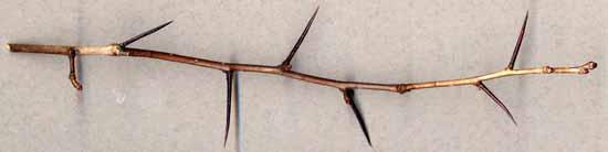 Hawthorn Tree Thorns Midland Hawthorn is a Tree of